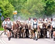 Viehscheid im Allgäu – Zum Überwintern zurück ins Tal