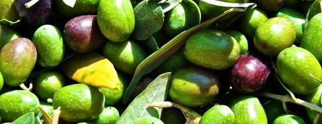 Es ist vollbracht – Olivenernte 2013