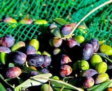 Olivenernte 2015 – grünes Gold & lahme Arme